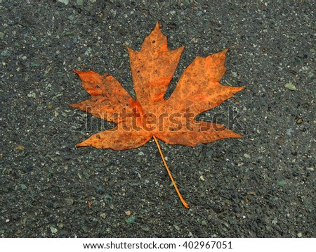 maple leaf in autumn in canada          - stock photo