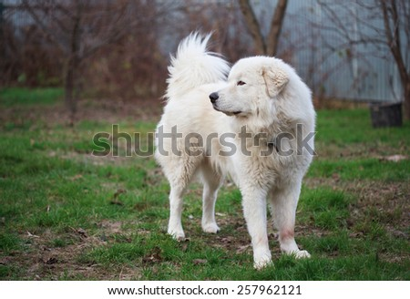 Maremma or Abruzzese white patrol dog standing on the grass in the garden