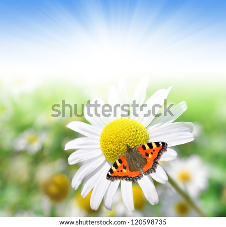 marguerites with butterfly - stock photo
