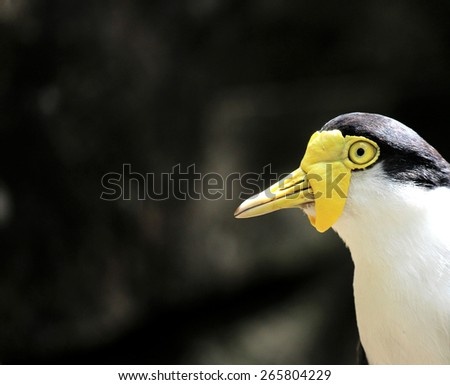 Masked lapwing, Vanellus miles on dark background with room for text  Vanellus miles - stock photo