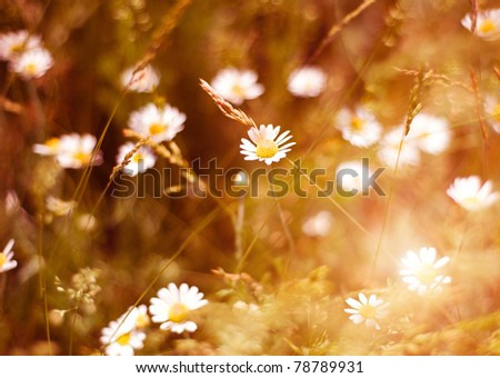 ????-??????????: Meadow daisies on a bright and sunny day - stock photo