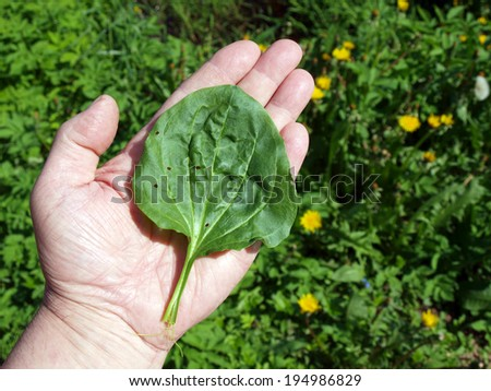 Medicinal plant plantain leaf on hand close up        - stock photo