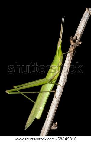 Mediterranean Slant-faced Grasshopper / Acrida ungarica - stock photo