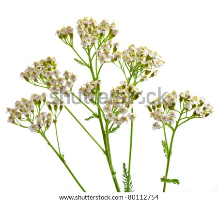 Milfoil  herbal medicine , Yarrow ( Achillea millefolium L. ) - stock photo