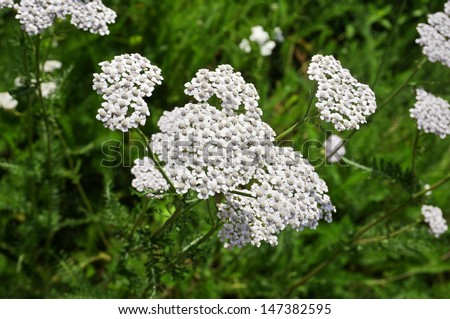 milfoil  plant herb  (Achillea Millefolium) - stock photo