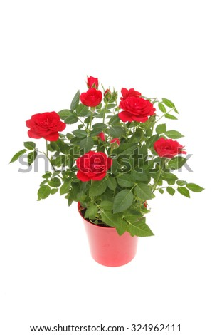 Miniature rose plant with red flowers in a red plastic pot isolated against white - stock photo