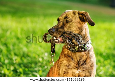 mixed breed dog with a leash in his mouth - stock photo