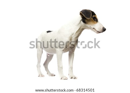 5 monhts old Jack Russell Terrier on isolated white background