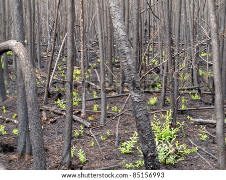 2 month after the forest fire: new green is already sprouting among charred logs. - stock photo