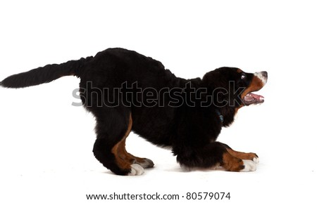 5 month old bernese mountain dog playing in studio, on white isolated