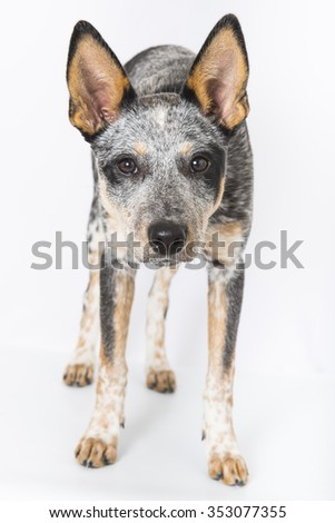 5 month old Blue Heeler puppy dog  isolated on white background - stock photo