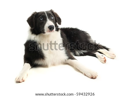 8 month old Border Collie
