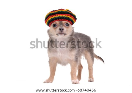 3 month old Funny chihuahua puppy in Rastafarian hat - stock photo