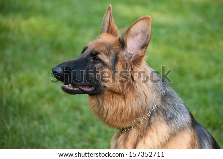 10-month-old German Shepherd  - stock photo