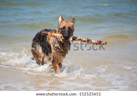 6-month-old German Shepherd puppy playing in the sea - stock photo