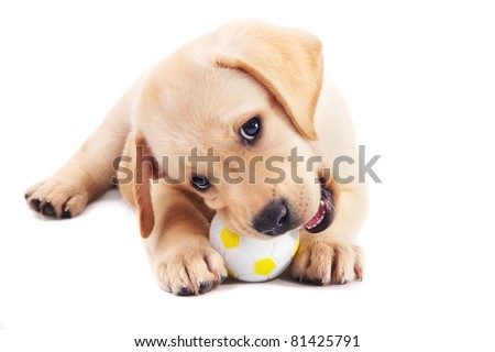 2 month old labrador retriever puppy chewing on a ball - stock photo