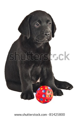 2 month old labrador retriever puppy with a ball - stock photo