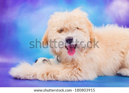 3 month old maltese/poodle puppy posing with ball - stock photo