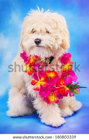 3 month old maltese/poodle puppy posing with Hawaiian lei - stock photo