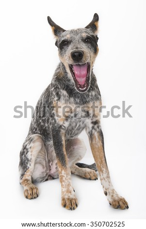5 month old Yawning Blue Heeler puppy dog  isolated on white background - stock photo