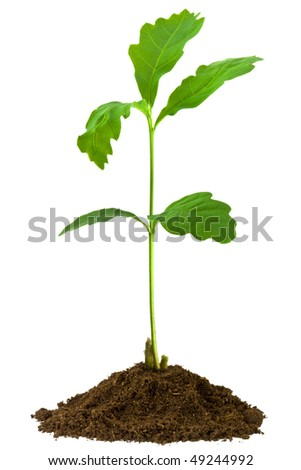 1-month seedling oak - stock photo