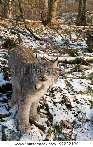 9-months kitten of canadian lynx. - stock photo