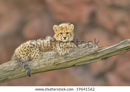 3 months old cheetah cub - stock photo