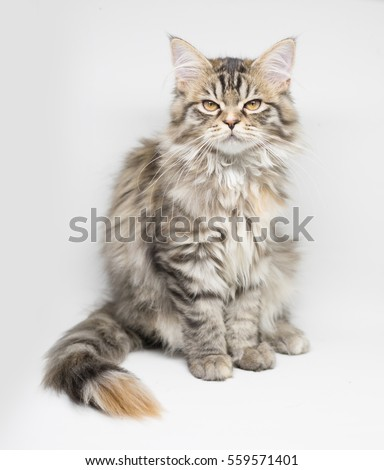 4 Months Old Persian Kitten isolated on White Background