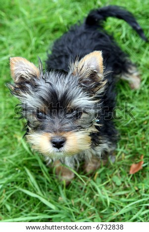 3 months old yorkshire terrier - stock photo
