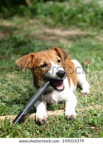 4 months young Jack Russel terrier puppy white and brown playing on a green grass area with a black plastic stick - stock photo