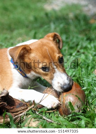 4 months young Jack Russel terrier puppy white and brown playing on a green grass area with a dry coconut - stock photo