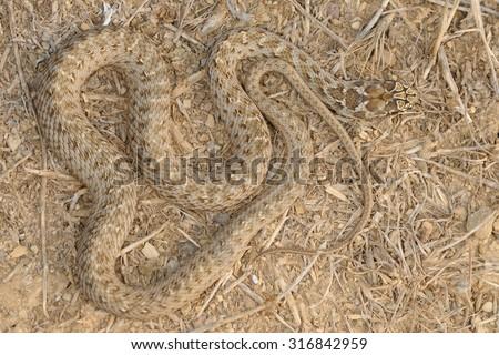 Montpellier snake (Malpolon monspessulanus) Young specimen pattern - stock photo
