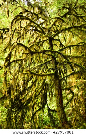moss-covered trees  on the marymere falls hike, near lake crescent,  olympic national park, washington - stock photo