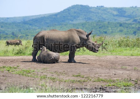 Mother and calf rhinoceros in Hluhluwe-Imfolosi Park South Africa - stock photo