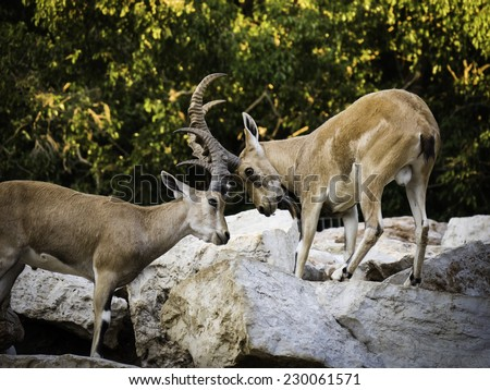 2 mountain goats (Ibex) fighting and knocking horns on rocks with trees in the background - side view - stock photo