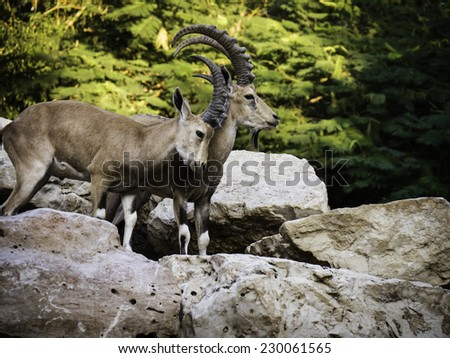 2 mountain goats (Ibex) playing together on rocks with trees in the background - side view - stock photo