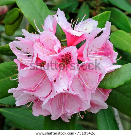 """Mrs G.W. Leak"" Speckled Throat (Rhododendron) Flower - Ericaceae - stock photo"