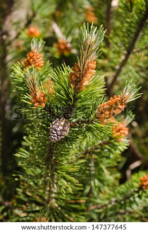 mugo pine branch  with cones - stock photo