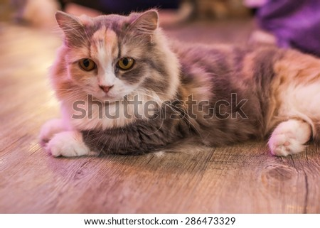 'Munchkin' Cat is looking away while lying down - stock photo