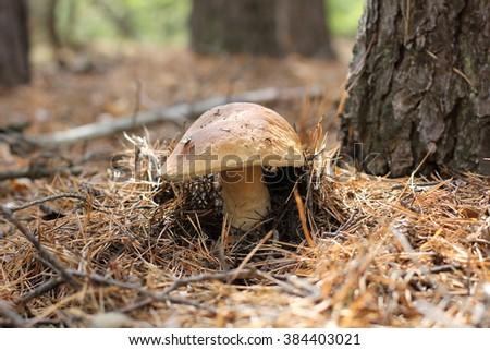 mushroom, porcini, bun, tree, grow, brown, grass, tasty, forest, - stock photo