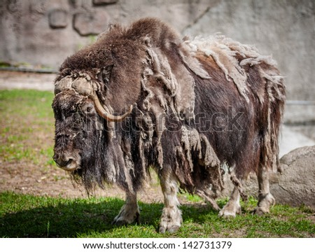 musk ox. Moscow zoo - stock photo