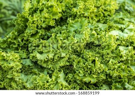 mustard green - stock photo