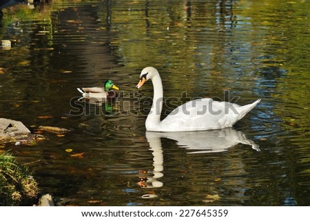 Mute swans - autumn pond