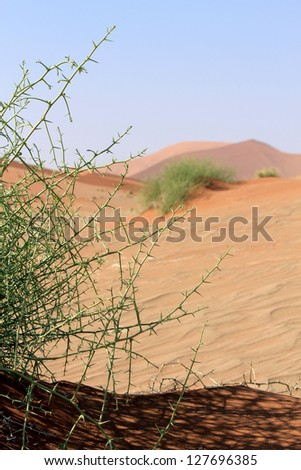 """Nara"" Xerophytic plant (Acanthosicyos horrida) in the sandy Namib Desert. South African Plateau, Central Namibia - stock photo"