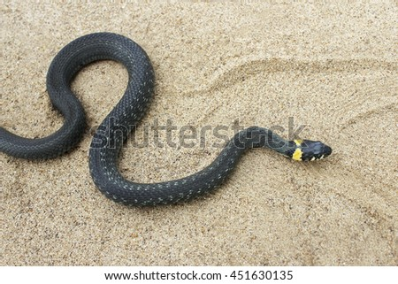 Natrix. Little Black Snake crawls through the sand.
