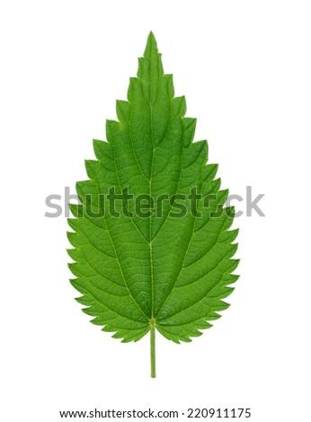 Nettle leaf isolated on white background  - stock photo