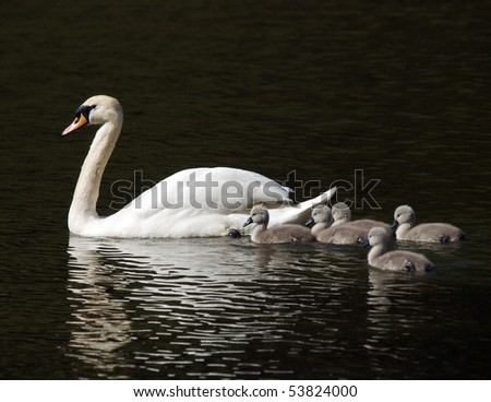 newly hatched signets with parent