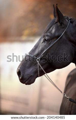 Nice purebred black stallion. profile horse - stock photo