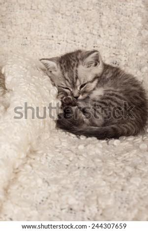 nice sleeping kitten  - stock photo