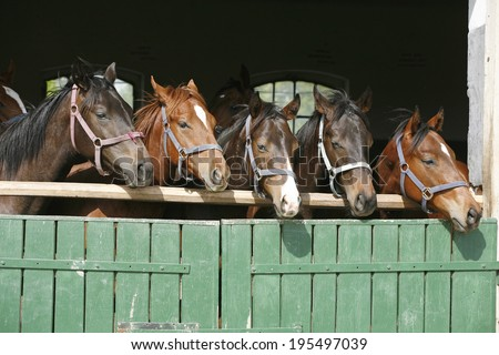 Nice thoroughbred foals in stable. Horses in the barn.  - stock photo